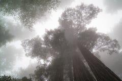 Investigadores da nuvem, árvores gigantes da sequoia vermelha foto de stock royalty free
