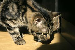 An investigating kitten Royalty Free Stock Image