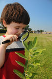 Investigating nature closeup. A young boy, in about first grade, looks closely at a caterpillar on the leaf of a milkweed plant with a school in the background stock image