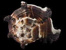 Invidiamacro van zeeschelpmurex Royalty-vrije Stock Fotografie