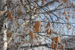 Invierno abedul con las hojas del amarillo en Fotografía de archivo libre de regalías