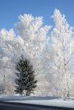 Invierno. Abedules y solo árbol de abeto Imagen de archivo libre de regalías