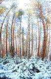Invierno amplio del panorama de la madera de pino Fotos de archivo libres de regalías