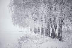 Invierno blanco y negro Árboles de abedul en la niebla Fotografía de archivo libre de regalías