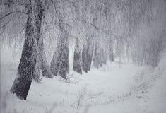 Invierno blanco y negro Árboles de abedul en la niebla Imagenes de archivo