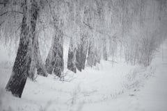 Invierno blanco y negro Árboles de abedul en la niebla Fotos de archivo