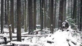 Invierno bonito Forest In Snowfall almacen de video