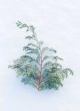 Invierno - brach congelado del enebro en fondo natural de la nieve Fotografía de archivo