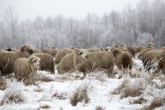 Invierno curioso de las ovejas Foto de archivo