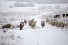 Invierno curioso de las ovejas Imagen de archivo