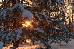 Invierno de la puesta del sol de la nieve del pino del bosque Imagen de archivo