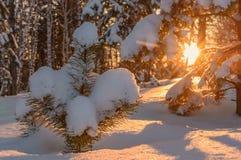 Invierno de la puesta del sol de la nieve del pino del bosque Fotografía de archivo