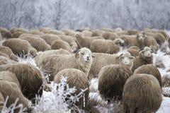 Invierno de las ovejas Imagen de archivo libre de regalías