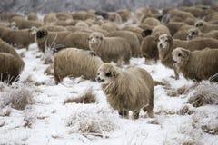 Invierno de las ovejas Fotografía de archivo libre de regalías