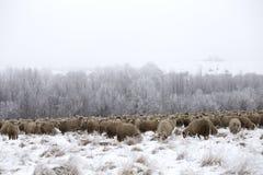 Invierno de las ovejas Fotos de archivo libres de regalías