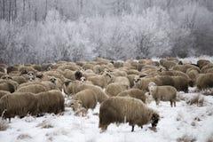 Invierno de las ovejas Imágenes de archivo libres de regalías