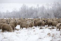 Invierno de las ovejas Fotos de archivo