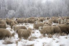 Invierno de las ovejas Imagenes de archivo