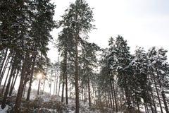 Invierno de los árboles de pino Foto de archivo libre de regalías