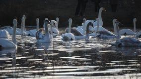 Invierno de los cisnes en el lago almacen de metraje de vídeo