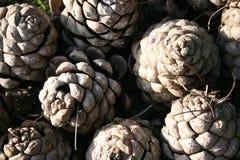 Invierno del ° de los conos del pino. Italia, Sicilia Imagen de archivo libre de regalías