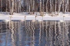 Invierno del abedul de la reflexión del lago swan Imágenes de archivo libres de regalías