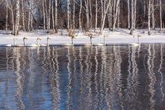 Invierno del abedul de la reflexión del lago swan Fotos de archivo libres de regalías