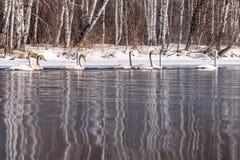 Invierno del abedul de la reflexión del lago swan Fotografía de archivo libre de regalías