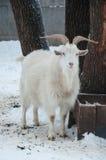 Invierno del blanco de la cabra Foto de archivo libre de regalías