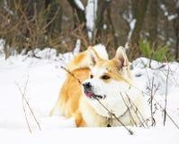 Invierno del perro de Akita Fotografía de archivo