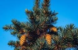 Invierno del primer del pino de la aguja imagenes de archivo