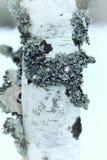 Invierno del tronco de árbol de abedul Imágenes de archivo libres de regalías