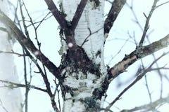 Invierno del tronco de árbol de abedul Fotografía de archivo libre de regalías