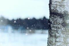 Invierno del tronco de árbol de abedul Fotos de archivo