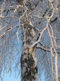 Invierno, el tronco blanco de un abedul Ramas del abedul cubiertas con helada contra el cielo azul Fotos de archivo libres de regalías