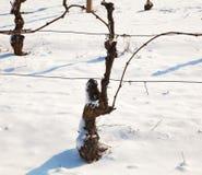 Invierno en el viñedo, Piamonte, Italia Imagen de archivo