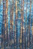 Invierno Forest Trees Nature Snow Woods Foto de archivo libre de regalías