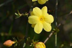 Invierno Jasmine6 fotografía de archivo