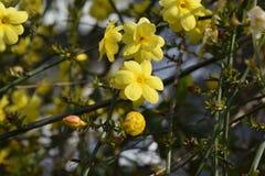 Invierno Jasmine6 imagen de archivo libre de regalías