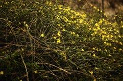 Invierno Jasmine6 Foto de archivo