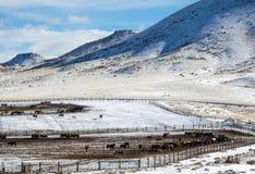Invierno, la instalación de la adopción del caballo salvaje de BLM Fotografía de archivo libre de regalías