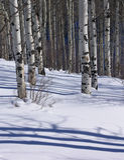 Invierno: álamos tembloses descubiertos en campo de nieve Fotografía de archivo