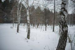 Invierno nieve abedules Foto de archivo libre de regalías