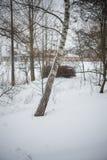 Invierno nieve abedules Fotos de archivo