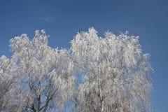 Invierno, ramas congeladas blancas del abedul cubiertas por la nieve Fotografía de archivo