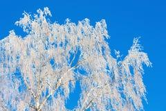 Invierno, ramas del abedul cubiertas con escarcha, contra el azul Imágenes de archivo libres de regalías