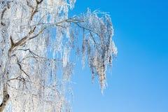 Invierno, ramas del abedul cubiertas con escarcha, contra el azul Fotografía de archivo