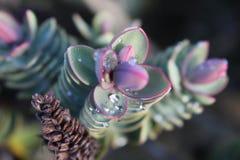 Invierno rosado Fotos de archivo libres de regalías