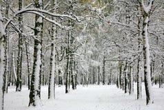 Invierno ruso - bosque del abedul Imagenes de archivo