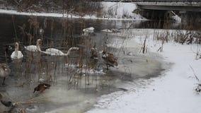 Invierno salvaje de los cisnes en naturaleza metrajes